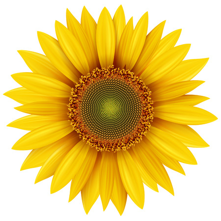 Photo for Sunflower isolated, vector illustration. - Royalty Free Image