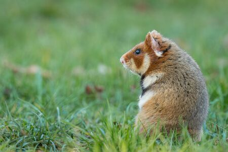 Photo pour A European hamster in a meadow looking for food, cemetery in Meidling (Vienna, Austria) - image libre de droit