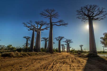 Foto de Baobab trees in West of Madagascar - Imagen libre de derechos