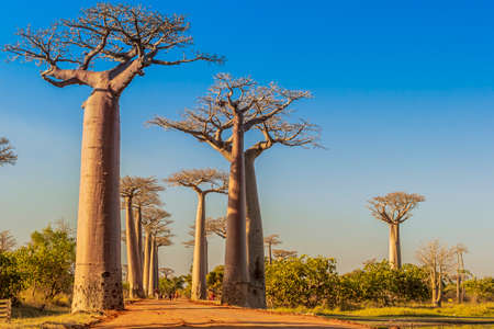 Foto de The famous Avenue of the Baobabs in Madagascar - Imagen libre de derechos