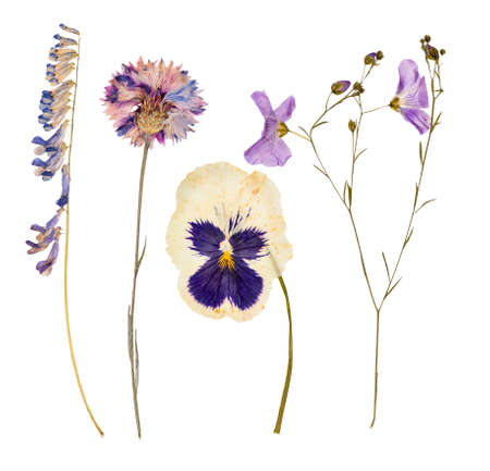 Photo for Set of wild dry pressed flowers and leaves, isolated - Royalty Free Image
