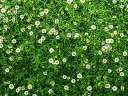 Photo for Little white Daisy - Royalty Free Image