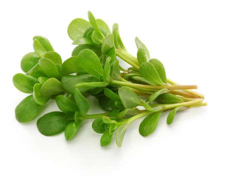 Photo for fresh purslane, edible weeds isolated on white background - Royalty Free Image