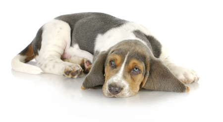 basset hound puppy laying down with reflection on white background