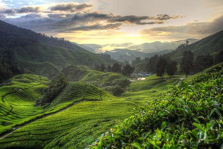 Photo for Tea plantation at the Cameron Highland, Malaysia - Royalty Free Image