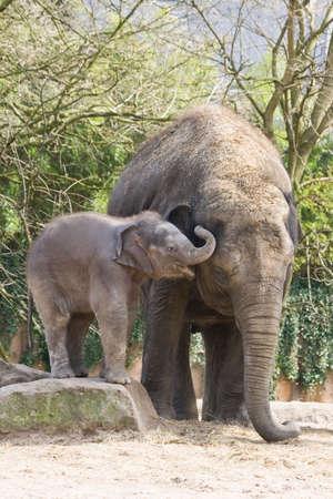 Playing asian baby elephant climbing on rock