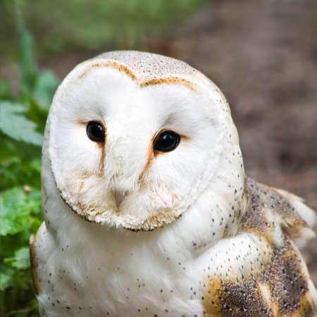 Portrait of Barn owl or Church owl - square cropped image