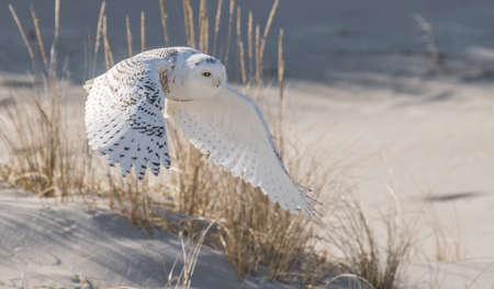 Photo for Snowy Owl - Royalty Free Image