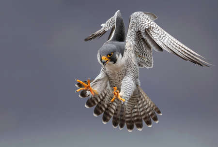 Photo for Peregrine Falcon in Flight - Royalty Free Image