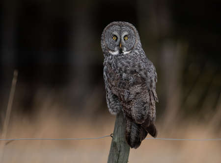 Photo for A Great Gray Owl in Alberta - Royalty Free Image