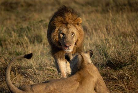 A Lion in the Maasai Mara, Kenya, Africa