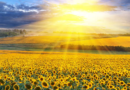Foto de Sunset over the field of sunflowers against a cloudy sky - Imagen libre de derechos