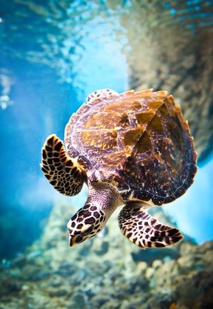 Photo for Eretmochelys imbricata floats under water - Royalty Free Image