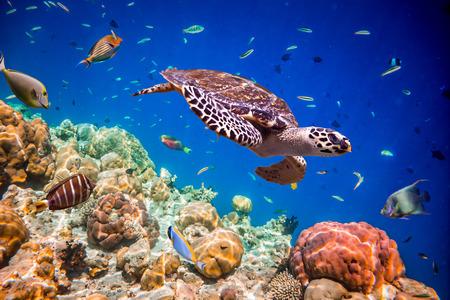 Photo for Turtle - Eretmochelys imbricata floats under water. Maldives Indian Ocean. - Royalty Free Image