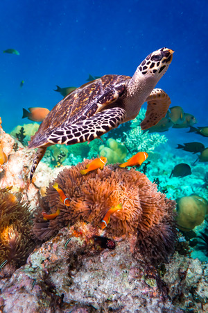 Photo for Hawksbill Turtle - Eretmochelys imbricata floats under water. Maldives Indian Ocean coral reef. - Royalty Free Image