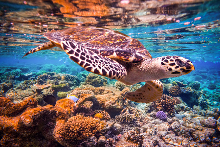 Photo for Hawksbill Turtle - Eretmochelys imbricata floats under water. Maldives - Ocean coral reef. Warning - authentic shooting underwater in challenging conditions. A little bit grain and maybe blurred. - Royalty Free Image