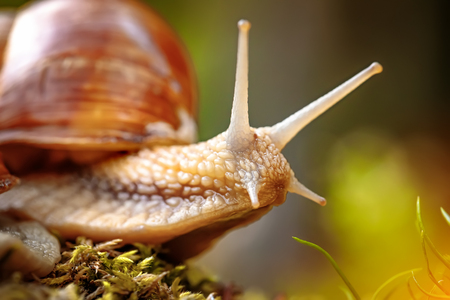 Photo pour Helix pomatia also Roman snail, Burgundy snail, edible snail or escargot, is a species of large, edible, air-breathing land snail, a terrestrial pulmonate gastropod mollusk in the family Helicidae. - image libre de droit