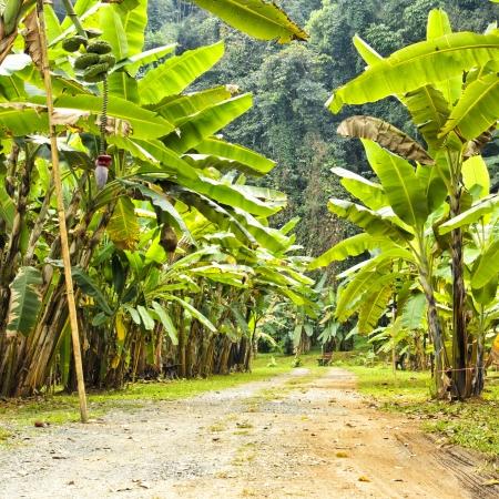 banana forest at chiand mai , thailand