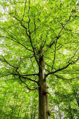 Photo for beech tree in a forest in Germany - Royalty Free Image
