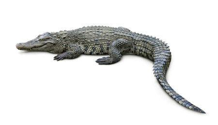 Foto de Crocodile isolated on white - Imagen libre de derechos
