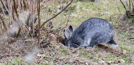 Photo for a gray rabbit digs a hole in the garden - Royalty Free Image