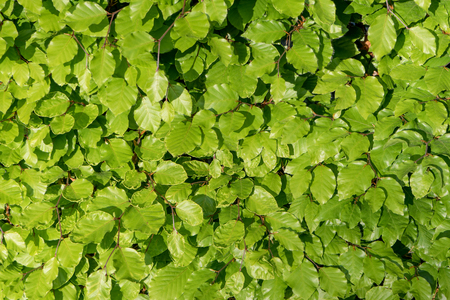 Photo for Leaves of a beech hedge in the sunlight - Royalty Free Image