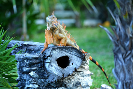 Iguana sitting on a trunk in the middle of a forest