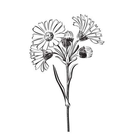 Illustration pour Hand drawn bouquet of daisy flowers isolated on white background, black and white colors. Vector illustration - image libre de droit