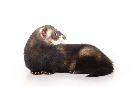 Foto de Standard color ferret on white background posing for portrait in studio - Imagen libre de derechos