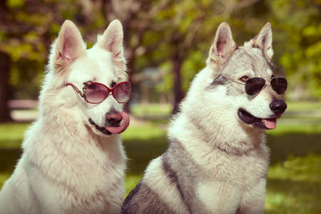 Photo pour Couple of gray wolfdog and swiss white shepheard with sunglasses in spring park - image libre de droit