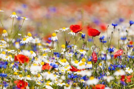 Photo pour abundance of blooming wild flowers on the meadow at spring time - image libre de droit