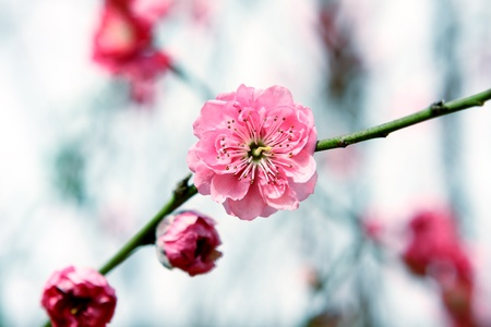 Plum Blossom, chinese flower during lunar new year