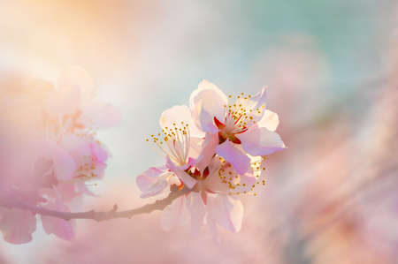 Photo for peach blossom bloom - Royalty Free Image