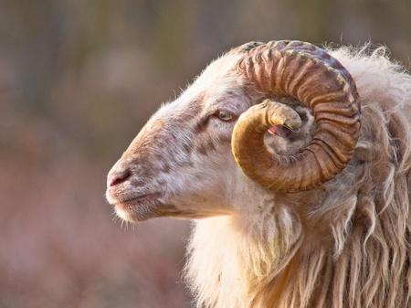 Photo pour Male long-tailed sheep portrait sideview - image libre de droit
