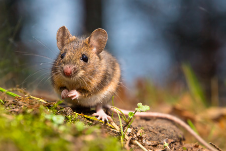 Photo for Wild wood mouse sitting on the forest floor - Royalty Free Image