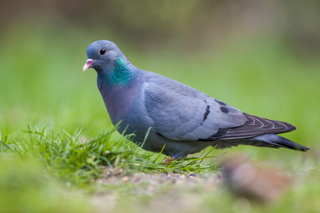 Photo for Stock Dove (Columba oenas) foraging in the grass of a bright green lawn - Royalty Free Image