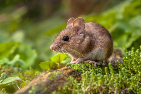 Photo for Wild Wood mouse resting on a stick on the forest floor with lush green vegetation - Royalty Free Image