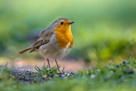 Photo pour A red robin (Erithacus rubecula) foraging on the ground in an ecological garden. This bird is a regular companion during gardening pursuits - image libre de droit