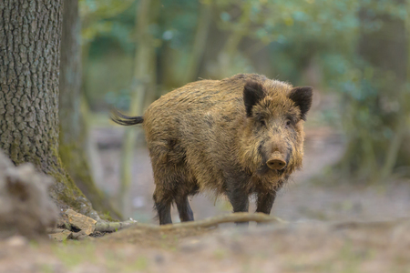 Photo pour Wild Boar (Sus scrofa) looking in the camera from natural forest surroundings - image libre de droit