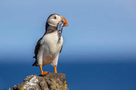 Photo pour Puffin (Fratercula arctica) with fish trying to find its nest in breeding colony on Isle of May, Scotland - image libre de droit