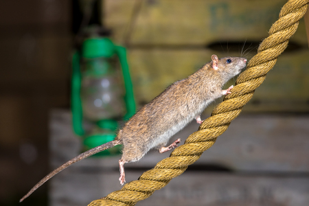 Foto de Wild Brown Rat (Rattus norvegicus) walking on anchor rope in harbor warehouse setting - Imagen libre de derechos