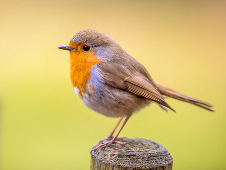 Foto de Cute Red Robin (Erithacus rubecula) perched on post with bright colorful background - Imagen libre de derechos
