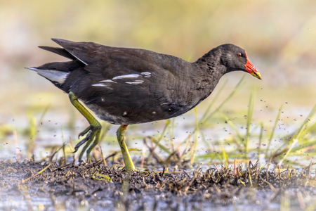 Photo pour Common Moorhen (Gallinula chloropus) bird running on bank of wetland pond in Flanders Belgium. Bright edit. - image libre de droit
