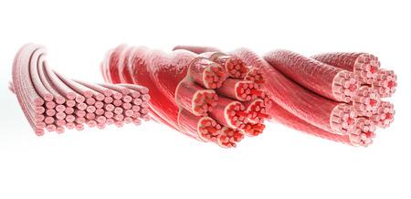 Foto de All muscle types in one picture, Skeletal, Cardial and Smooth Muscles - 3D Rendering - Imagen libre de derechos
