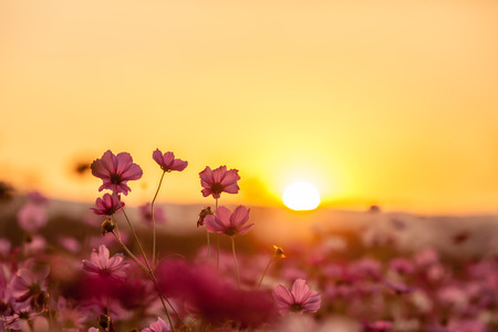 Photo pour Pink cosmos on field in sunset time - image libre de droit