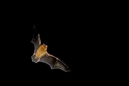Photo pour Bat flying at night time with wings spread - image libre de droit