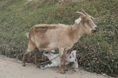 Foto de Goat with her calf - Imagen libre de derechos