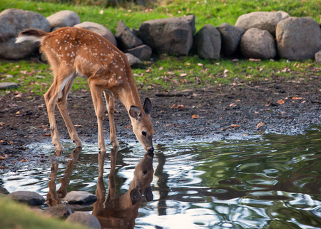 Foto de Young white-tailed deer fawn, drinks water from a pond. Reflection may be seen. - Imagen libre de derechos