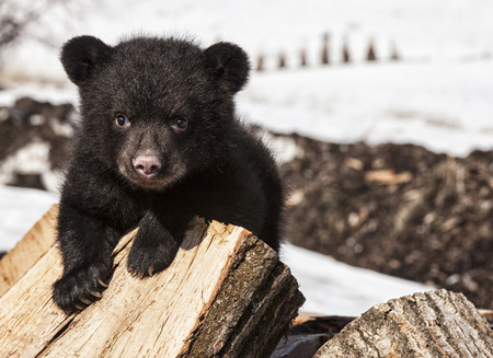 Photo pour American black bear cub climbing and playing on a wood pile. Springtime in Wisconsin. - image libre de droit