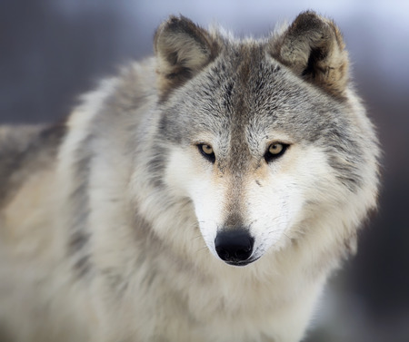 Photo pour Close up, head and shoulders image of a Timber Wolf, or Gray wolf.  Shallow depth of field. - image libre de droit
